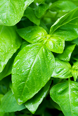 Homegrown basil from your garden saves money